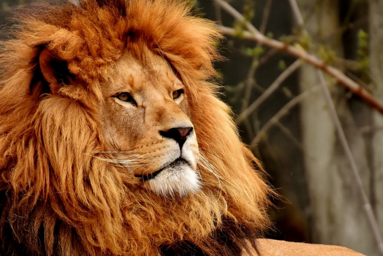 imagem: leão