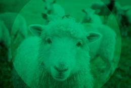 Foto de ovelha em um campo com outras ovelhas ao redor