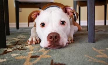 imagem: cachorro deitado em um tapete